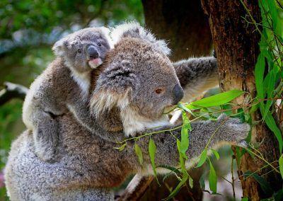 Le koala : une espèce de plus en voie de disparition ?