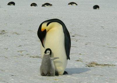 Le manchot empereur victime de la fonte des glaces en Antarctique