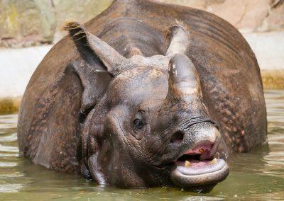 Le rhinocéros de Java : une espèce classée en danger critique d'extinction
