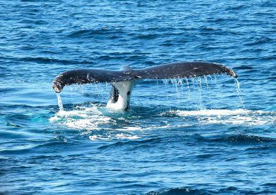 Reprise de la pêche commerciale à la baleine par le Japon : bonne ou mauvaise nouvelle ?