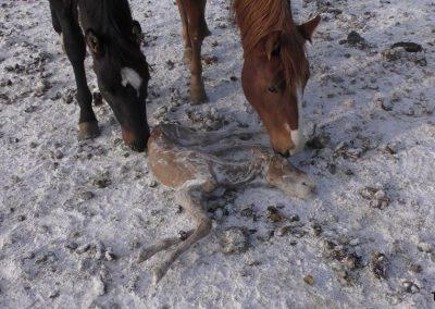 Conditions de détention et abattage de chevaux dénoncés par des ONG
