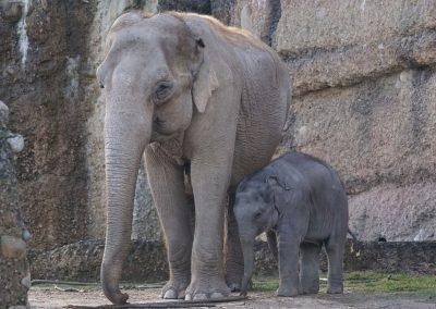 Une première au Sri Lanka : procédure judiciaire contre le trafic d'éléphants