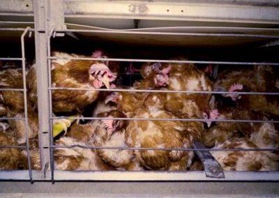 Elevage de poules en batterie : une nouvelle enquête dévoilée