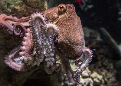 Vous prendrez bien un peu de pieuvre en amuse-gueule ?