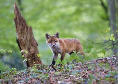 Tuer les prédateurs naturels pour protéger le gibier… des chasseurs !