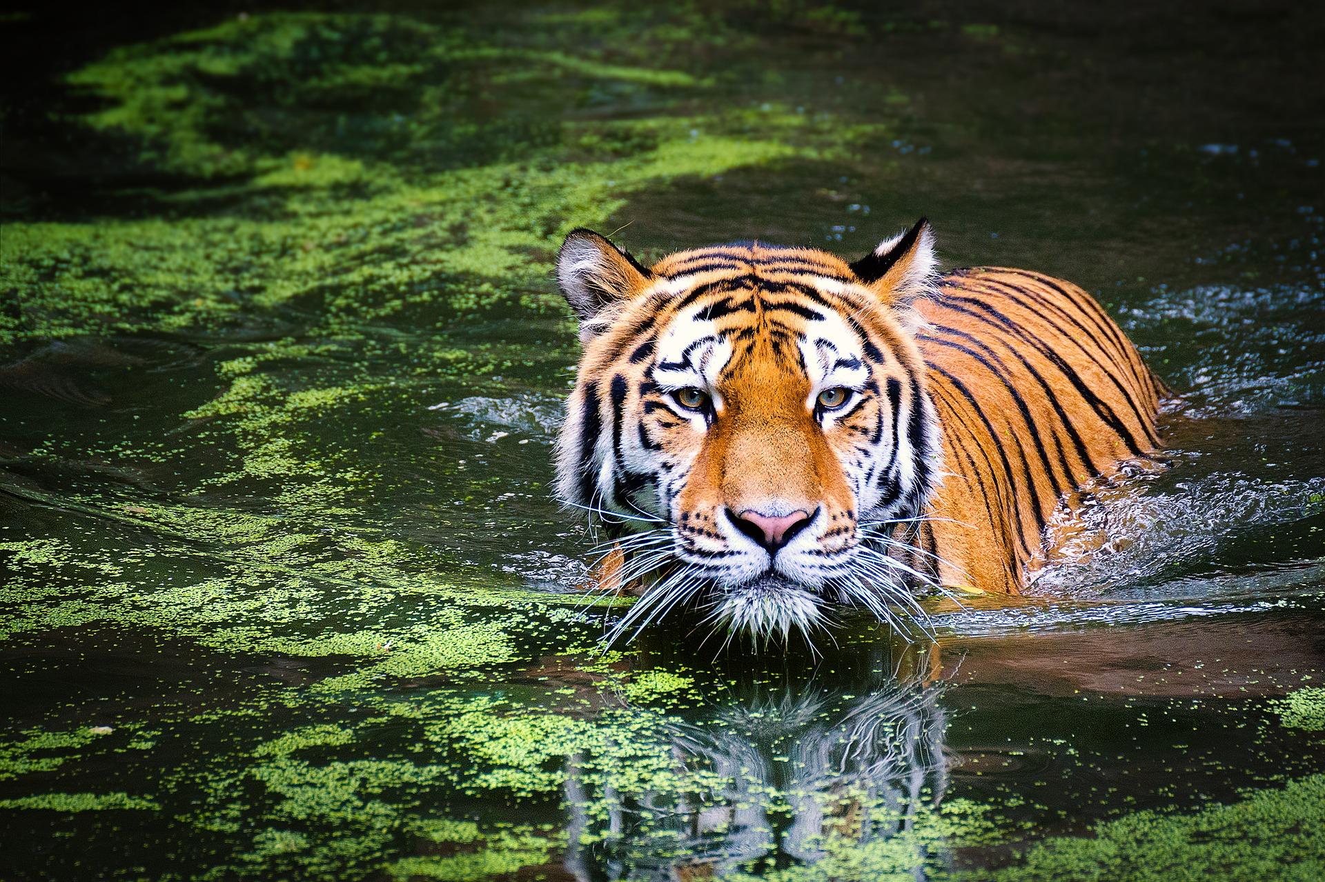 Panthera tigris tigris Tigre-3-libre-de-droits
