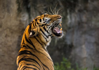 Le tigre du Bengale (Panthera tigris tigris)
