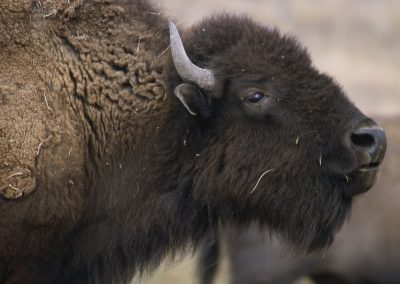 Dix-neuf bisons échappés d'un élevage français abattus