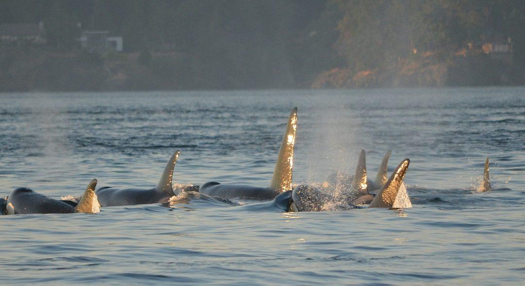 La « prison des baleines » n'existera bientôt plus en Russie