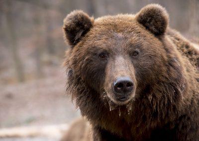Protéger les troupeaux en estive au détriment des ours ?