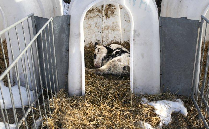 De jeunes veaux arrachés à leur mère et isolés dans des cages