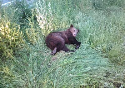 Une jeune ourse sauvée après avoir été heurtée par un véhicule