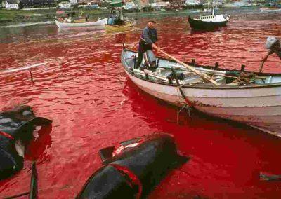 Massacre de cétacés aux îles Féroé : ça continue