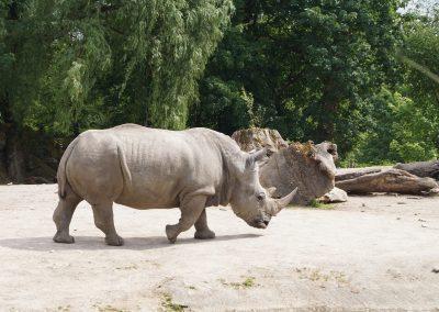 Rhinocéros blanc versus rhinocéros tagué !