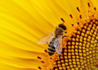 Deux néonicotinoïdes probablement interdits en France : une avancée pour les abeilles ?