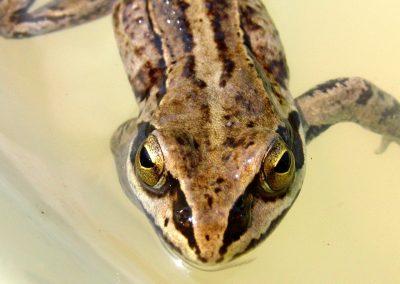 Des grenouilles rousses braconnées en France