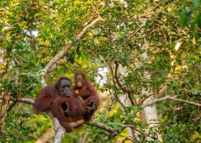 Le vulnérable orang-outan menacé par les incendies de la forêt indonésienne