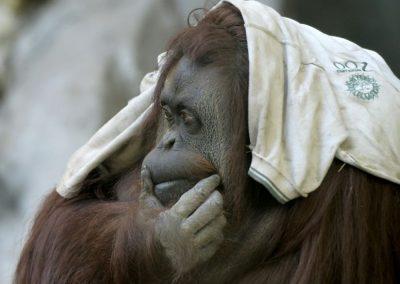 « Sandra » l'orang-outan ou les mêmes droits que les humains