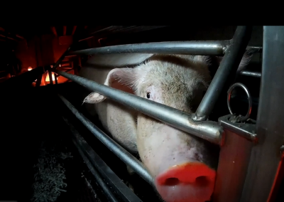 Nouvelle enquête dans un élevage de truies en Italie
