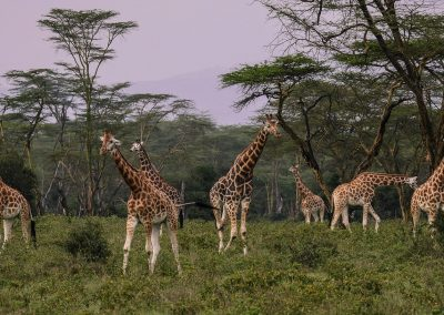 La girafe (Giraffa camelopardalis)