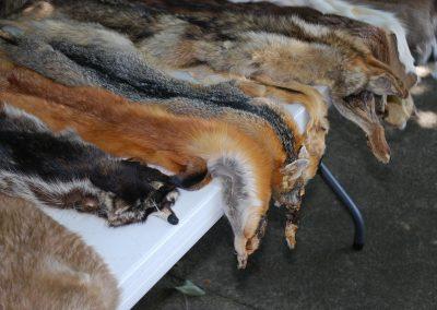La fourrure d'animaux sauvages interdite en Californie