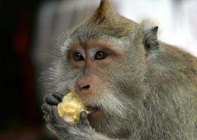 Une capacité cognitive plus flexible chez les singes que chez les humains