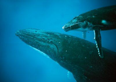 Le chant des mamans baleines