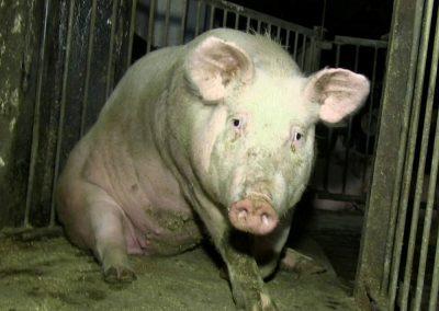 Allemagne : des cochons en plein cauchemar