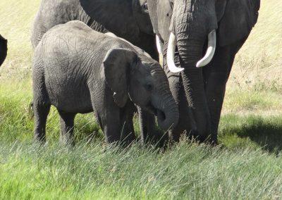 De jeunes éléphants d'Afrique dans des zoos chinois