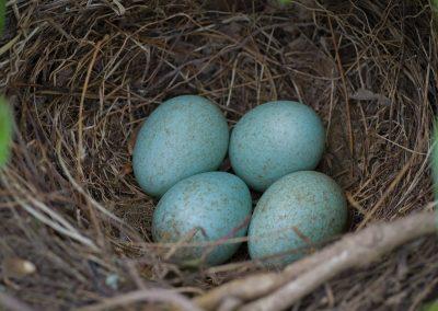 La couleur des œufs d'oiseaux joue un rôle fondamental dans la survie des espèces