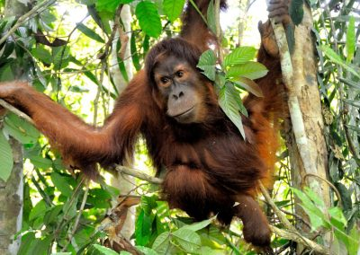 L'orang-outan de Tapanuli menacé d'extinction
