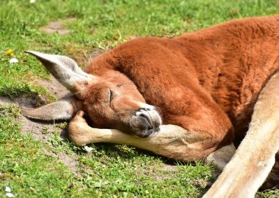 Le kangourou, animal emblématique de l'Australie, sur les étals des supermarchés