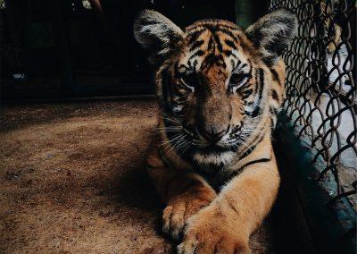 Tigres en captivité : délire à l'américaine