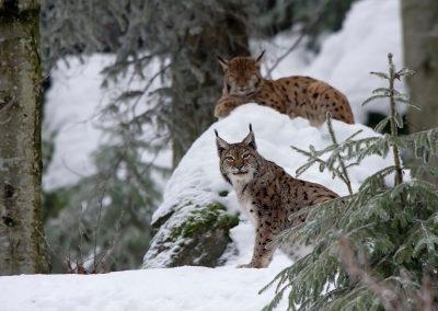 Le lynx boréal (Lynx lynx)